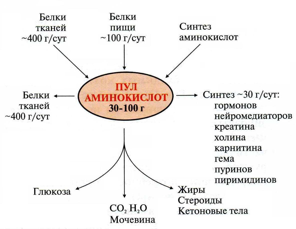 Роль аминокислот в организме человека реферат 6328