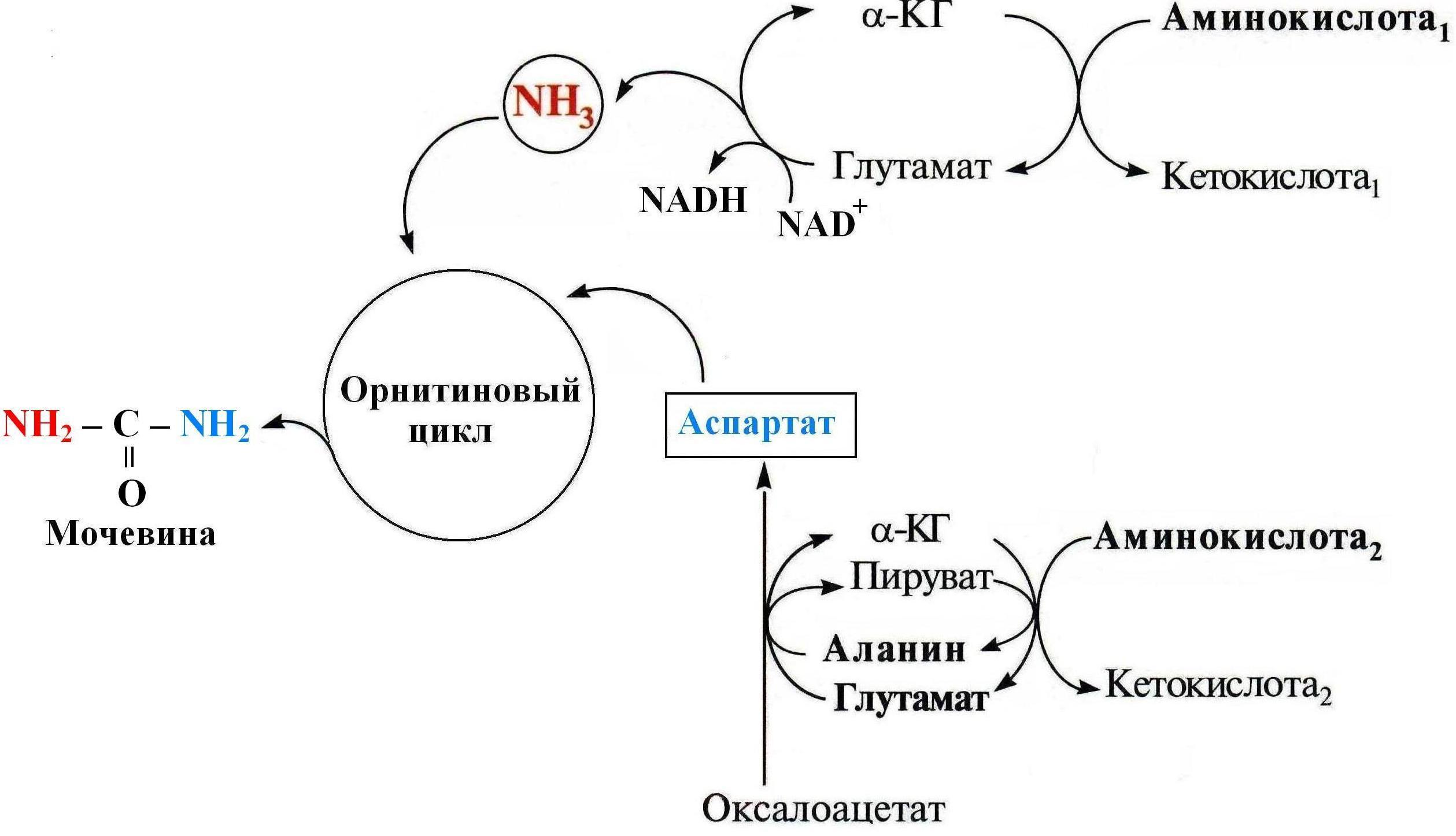 орнитиновый цикл схема
