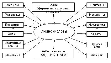 Роль аминокислот в организме человека реферат 6232