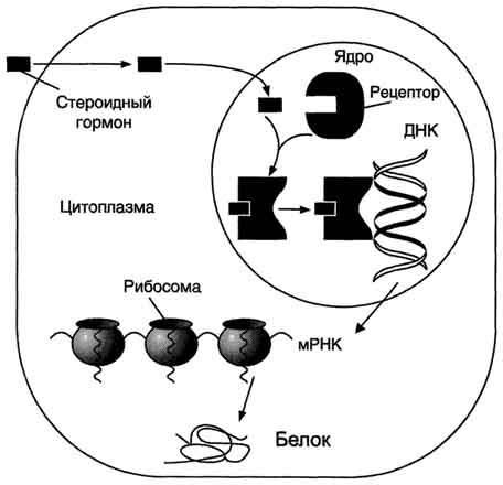 Рецепторы и стероиды сустанон тренболон энантат