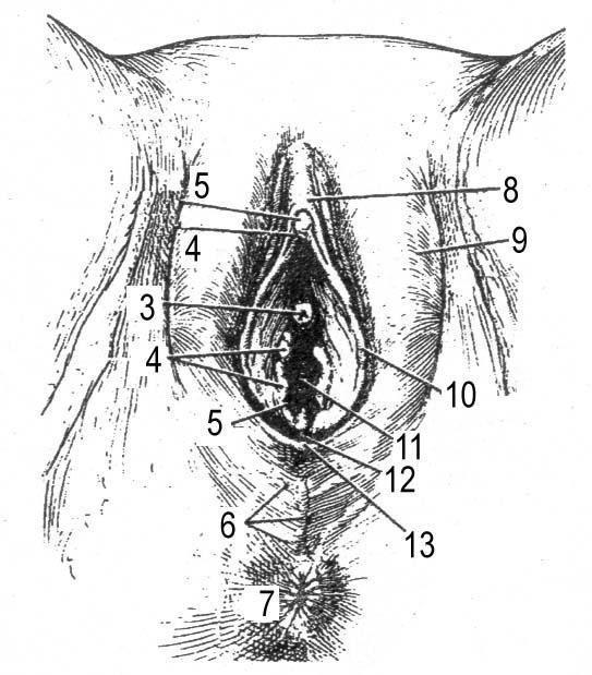 podrobnoe-opisanie-laski-zhenskih-polovih-organov