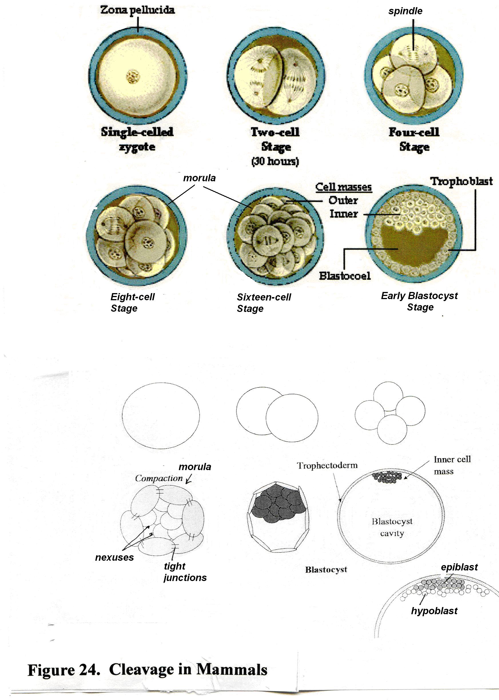 17) Aorta; 18) forming gut tube; 19) coelom; 20) blood vessels in ...