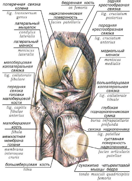 Схема мениск коленного сустава