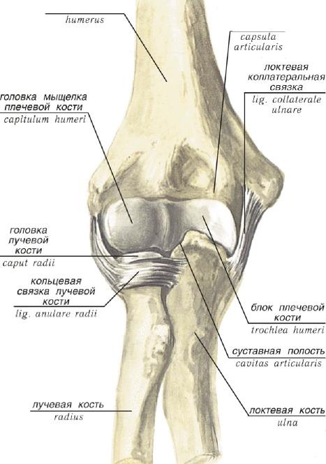 Плечелучевой сустав шаровидный многоосный выполняет боли в суставах и горле