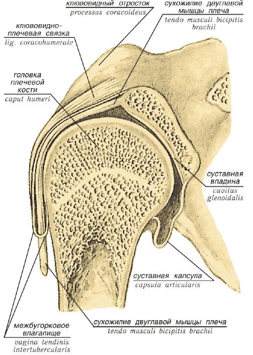 Хрящевые образования углубляющие суставные ямки это части сустава биология 8 класс