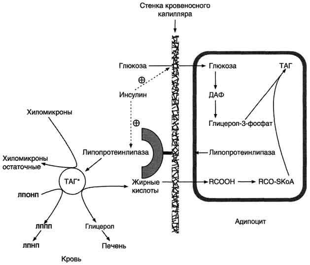 Инсулин и адреналин как представители гормонов реферат 6001