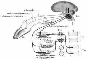 Рефлекторная дуга безусловного рефлекса схема 610