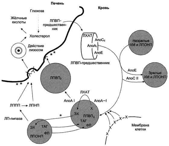 Реферат на тему Биохимические основы развития атеросклероза  Рис 8 70 Роль ЛПВП и ЛПНП в обратном транспорте холестерола в печень Незрелые ЛПВП предшественники обогащаются холестеролом который поступает в ЛПВП при