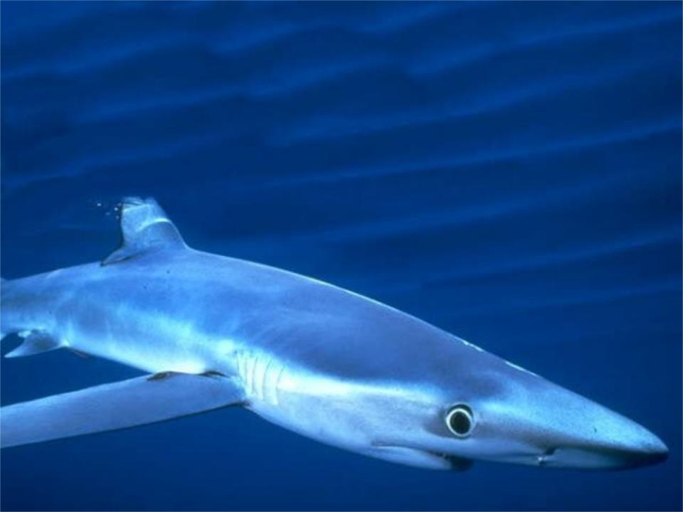 все картинка акулы и описание каждое его появление