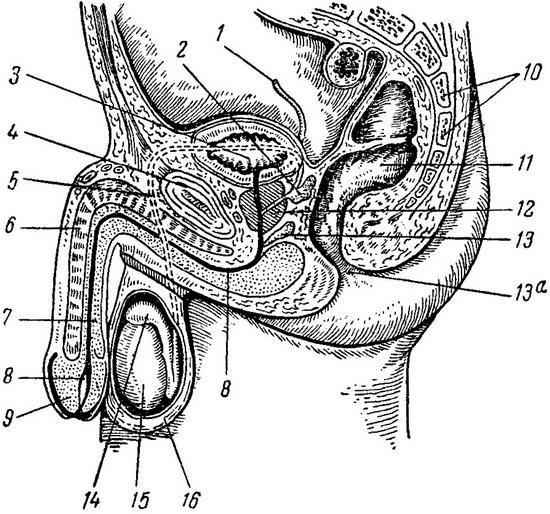 Как стимулировать гениталии мужчин настю трахают