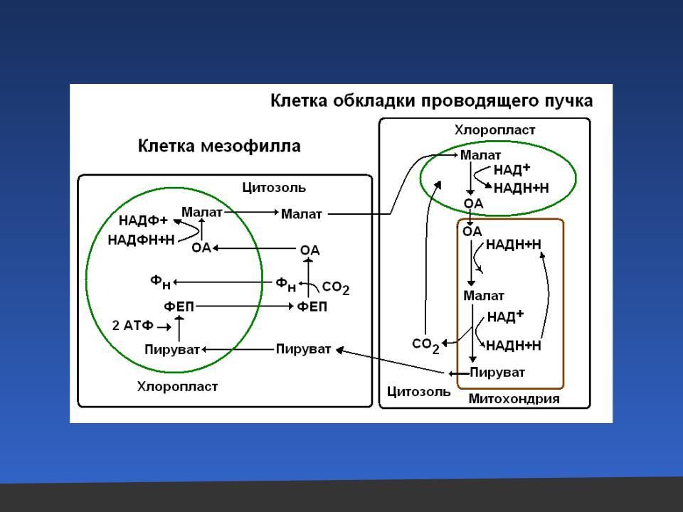 Фиксация углекислого газа при фотосинтезе