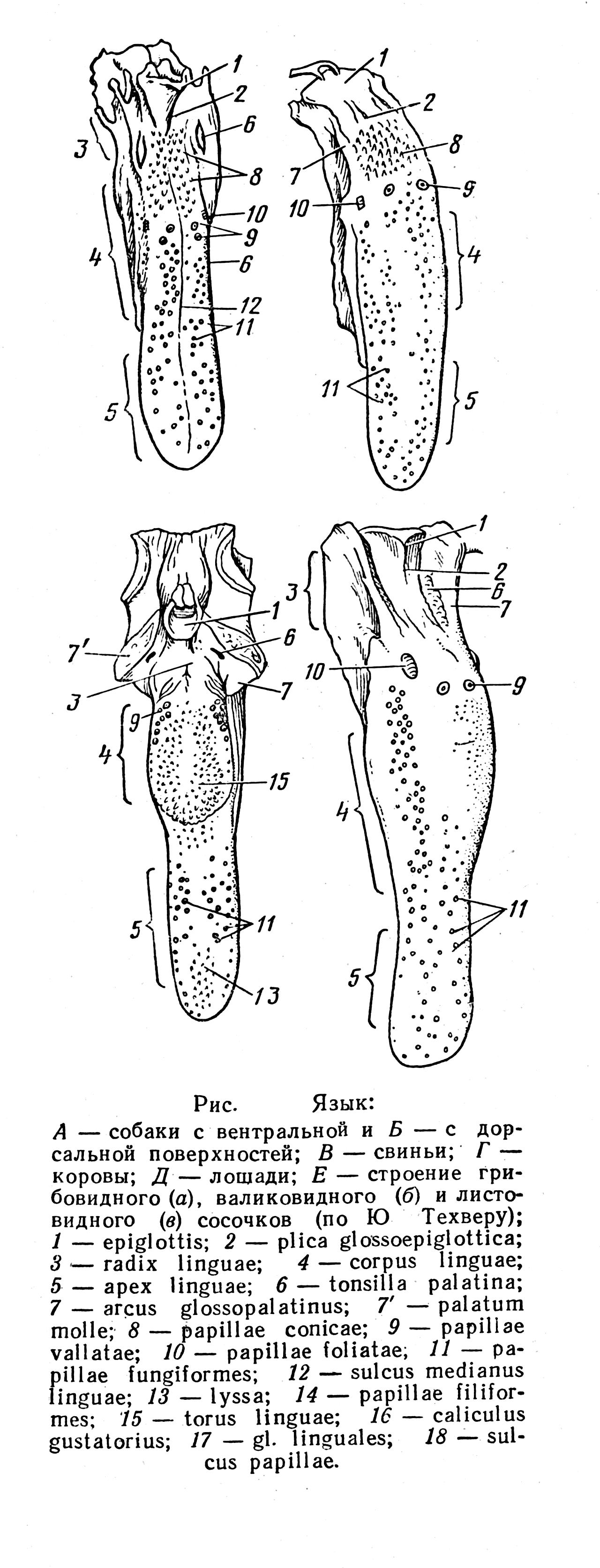 Мышцы плечевого сустава животных