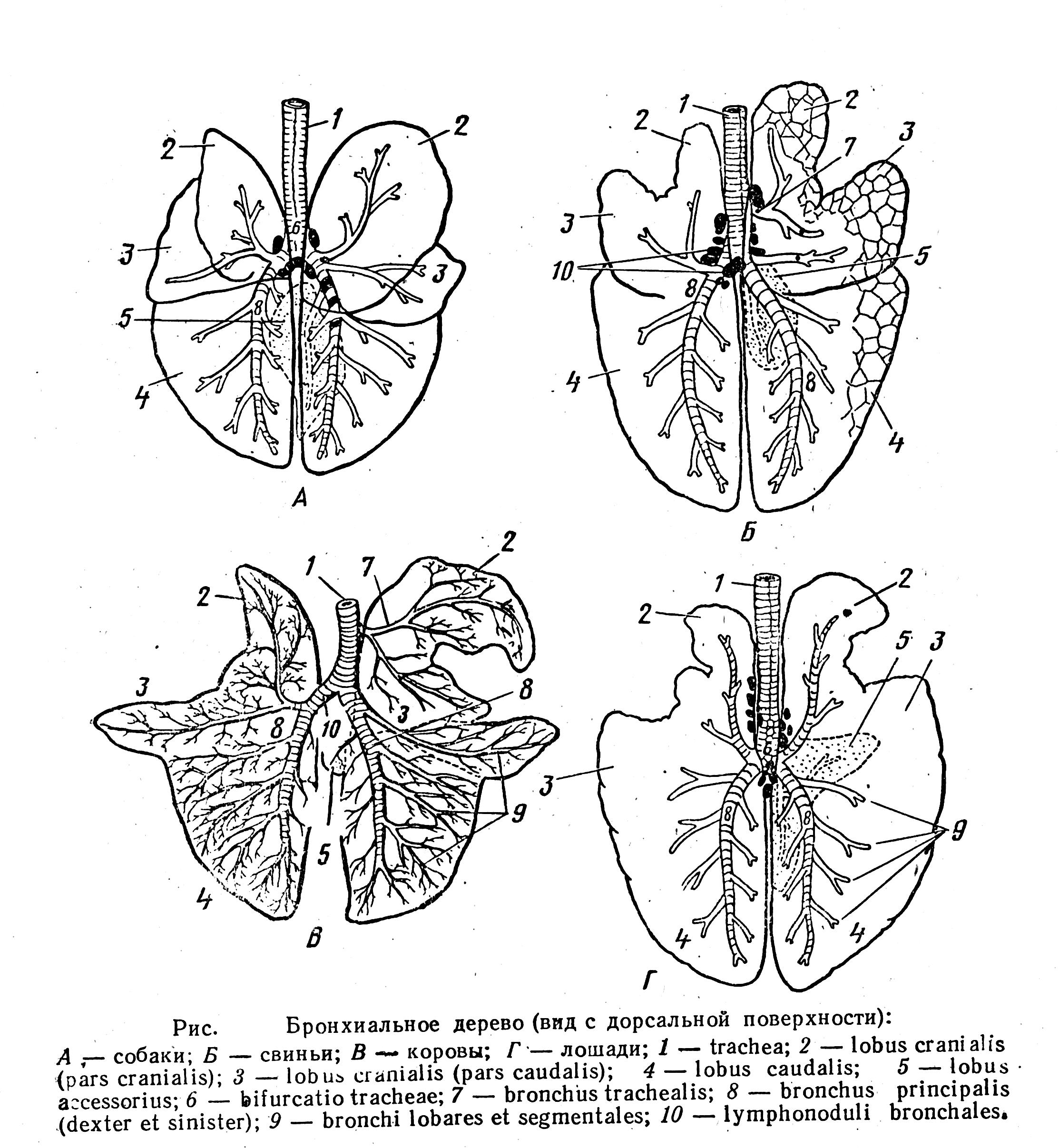 Схема легких животных