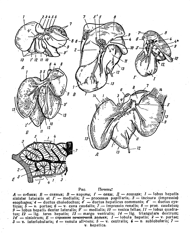 Суставы пальцев домашних животных