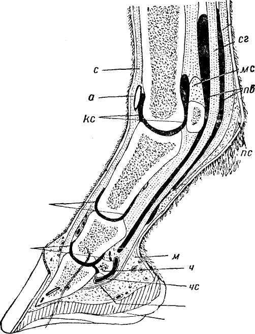 Нервные окончания скакательного сустава учеба поультразвуковой диагностике суставов г челябинск
