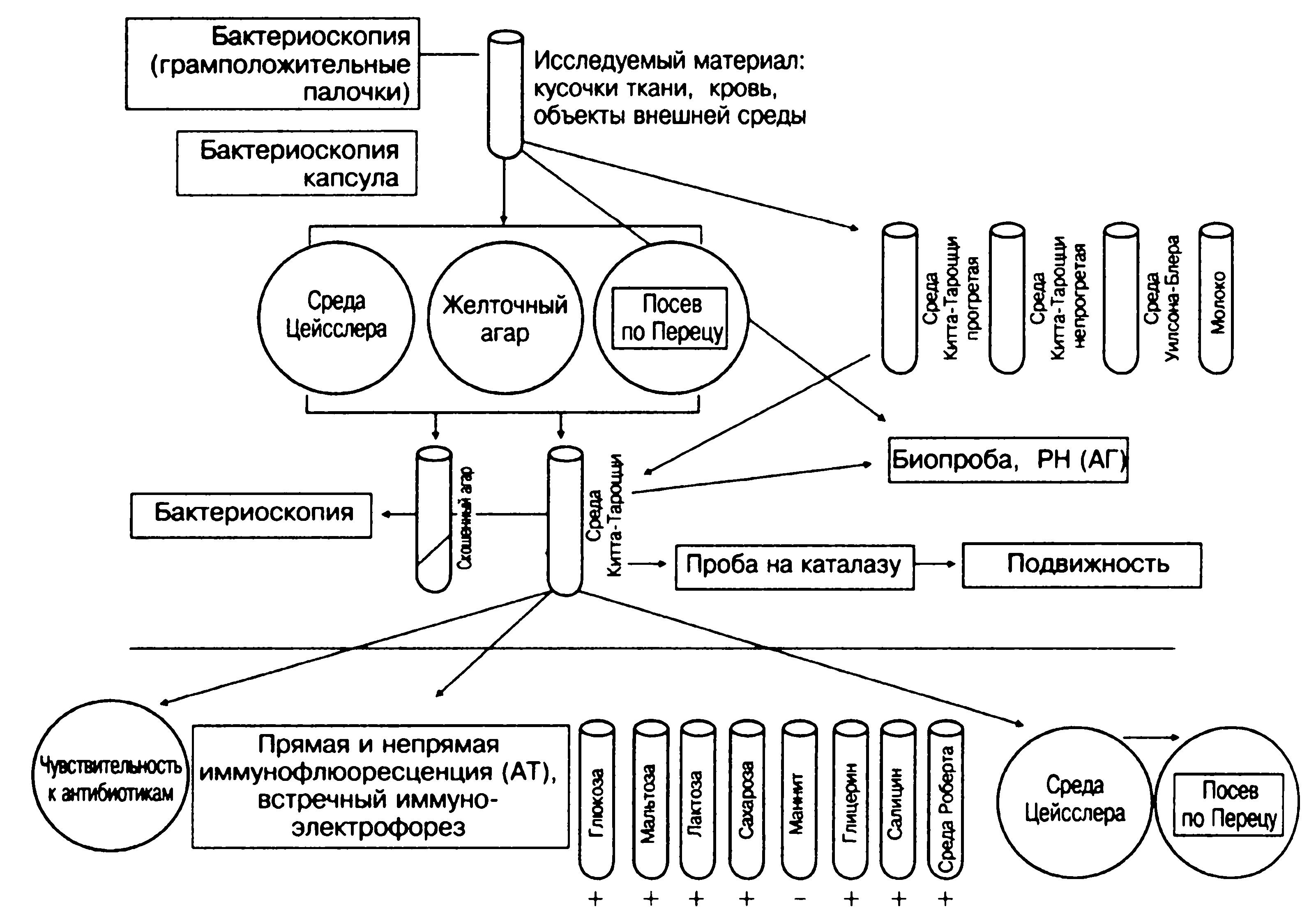 Бактериоскопическая идентификация гонококков основывается на следующих признаках