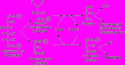 Схема брожения дрожжей