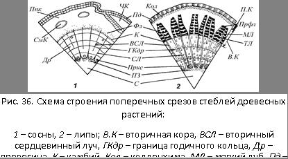 Первичное и вторичное строение стебля наземных травянистых растений