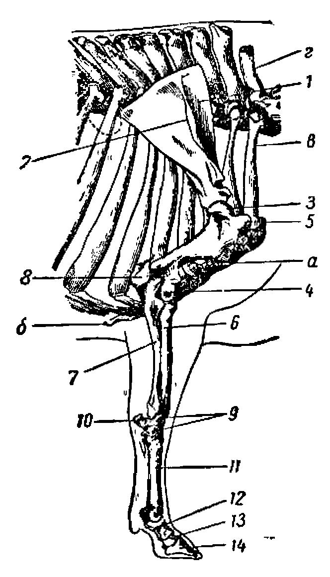 Кости и суставы тазовой конечности коровы боли в подколенном суставе