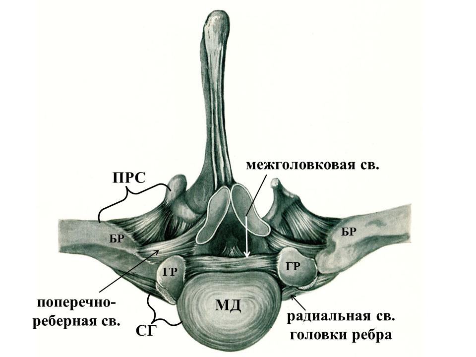 Изображение - Сустав головки ребра img-0rVmiu