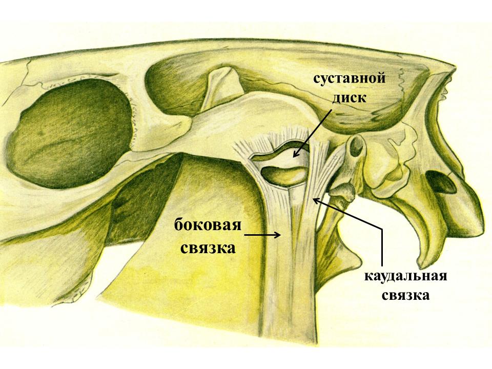 Височно нижнечелюстной сустав связки подагра локтевые суставы