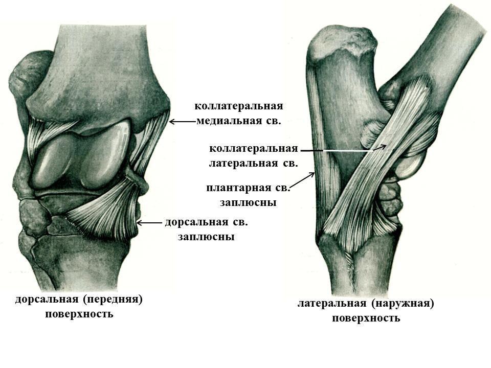 Скакательный сустав характеристика снимки нормальных тазобедренных суставов у собаки