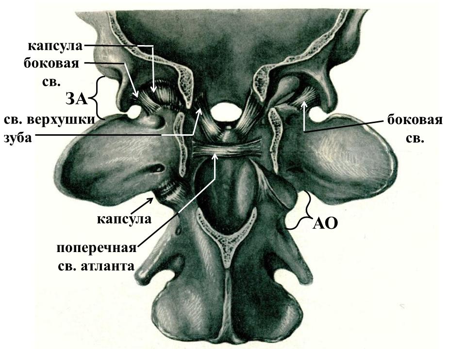 Капсула межфалангового сустава у собак коксартроз суставов