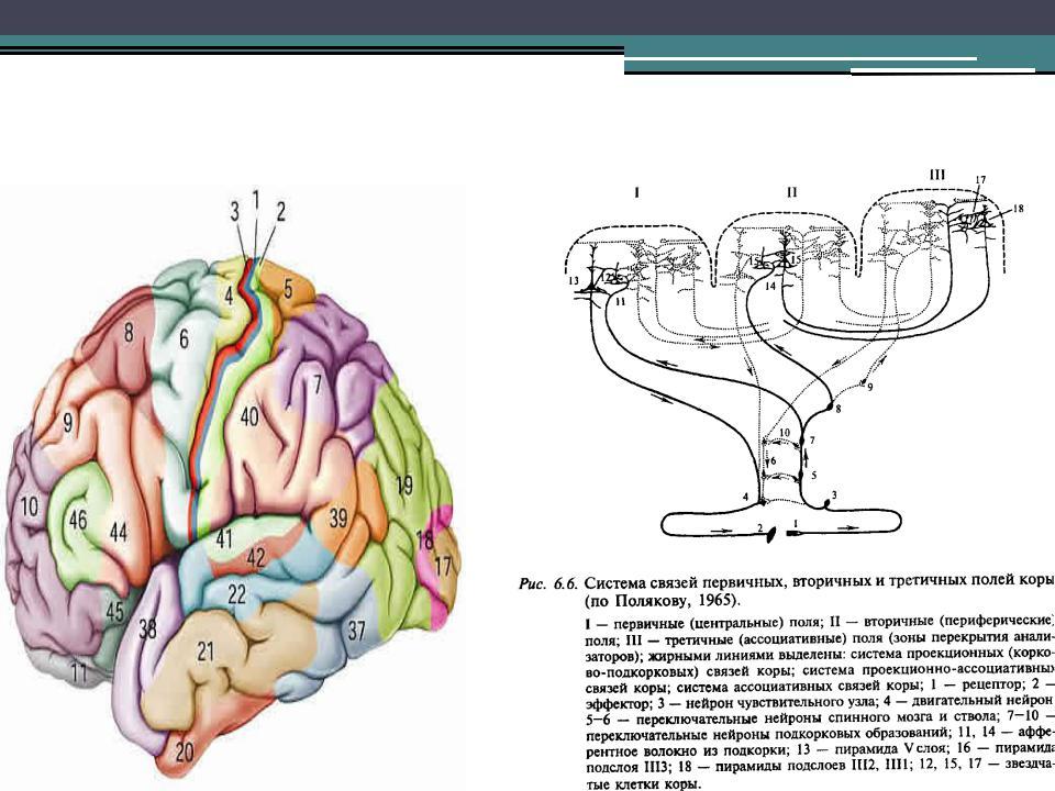 общая структурно функциональная девушка модель работы головного мозга разработана