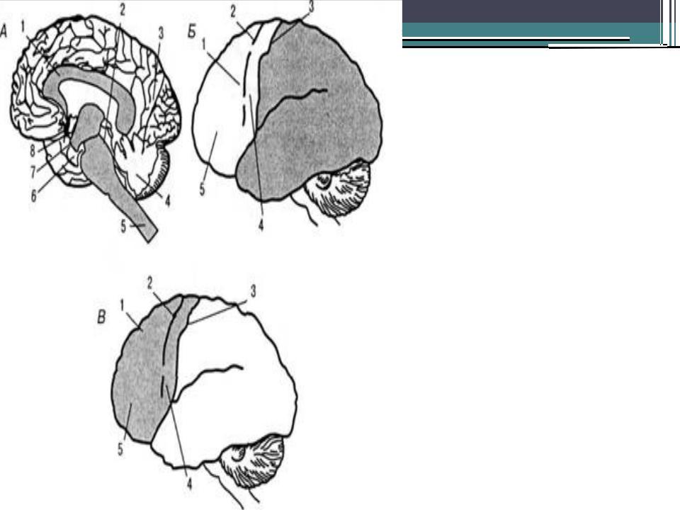 Общая структурно функциональная девушка модель работы головного мозга как субстрата работа в бобров