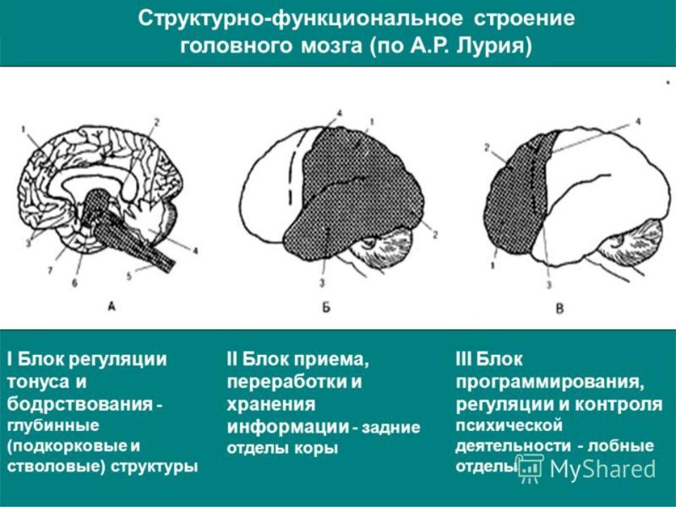 структурно функциональная девушка модель интегративной работы мозга а р лурия