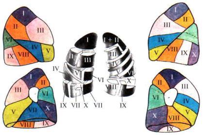Расположение бронхов артерий и вен в легких thumbnail