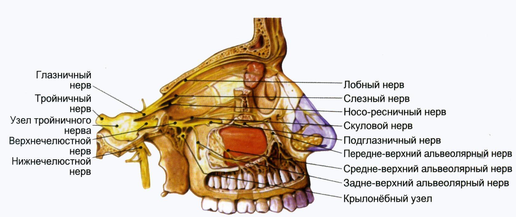 Как лечить тройничный нерв зубов 165