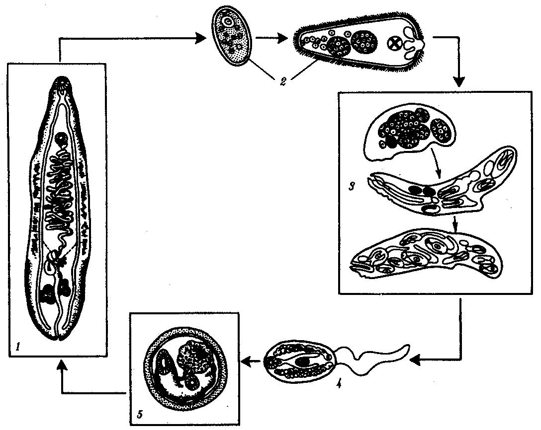 Классификация простейших паразитов