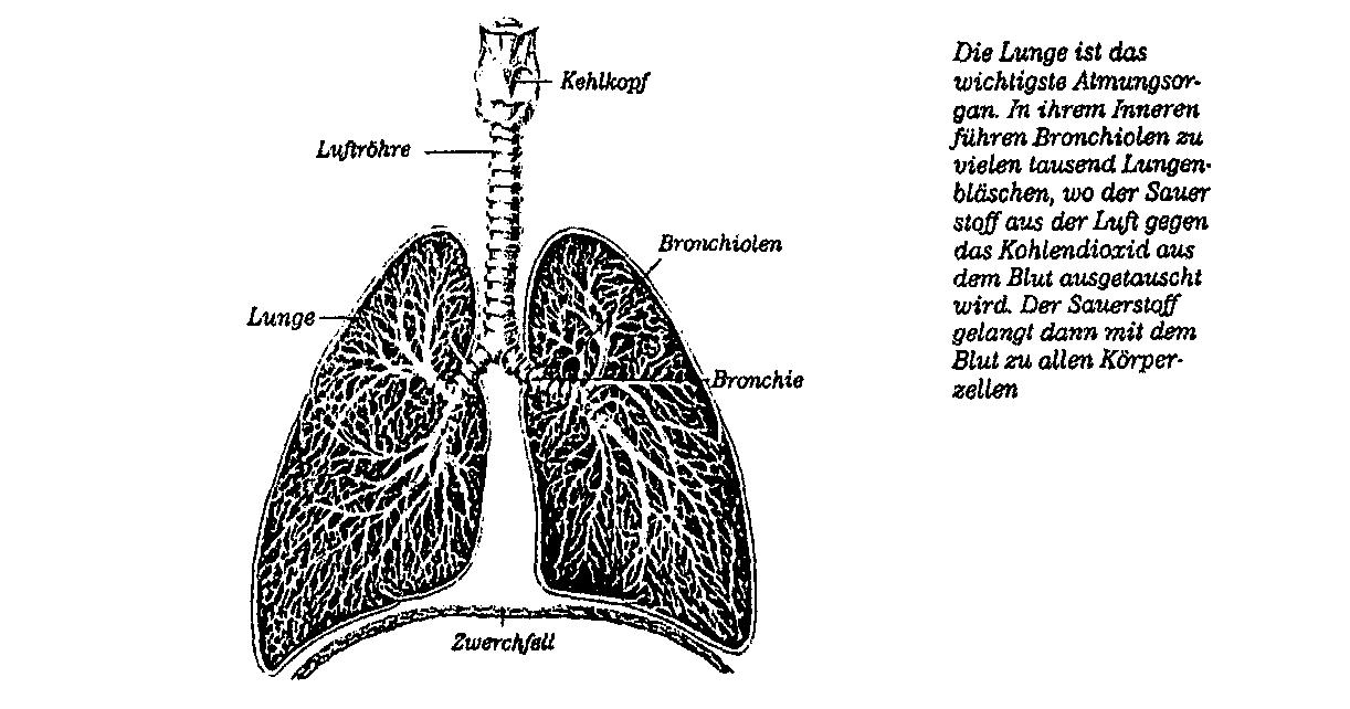 Text а Das Atmungssystem
