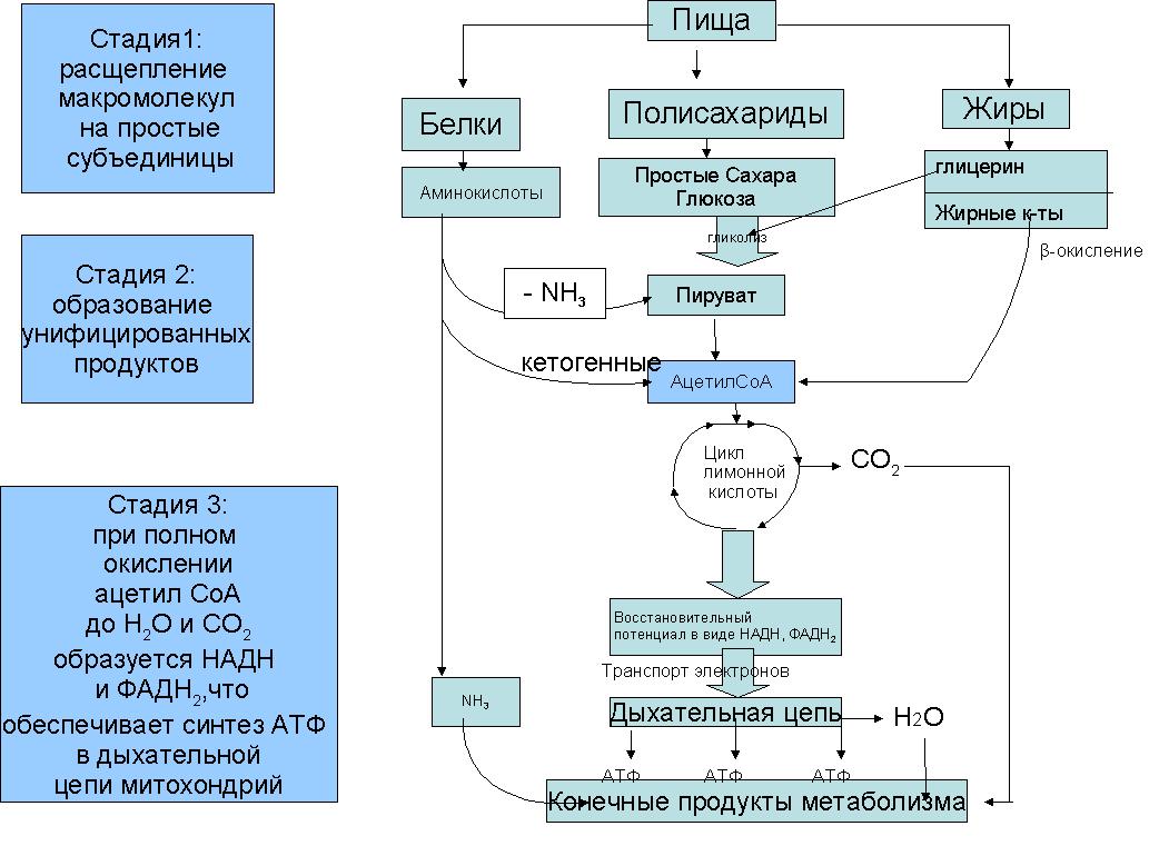 Схема энергетического обмена в клетке