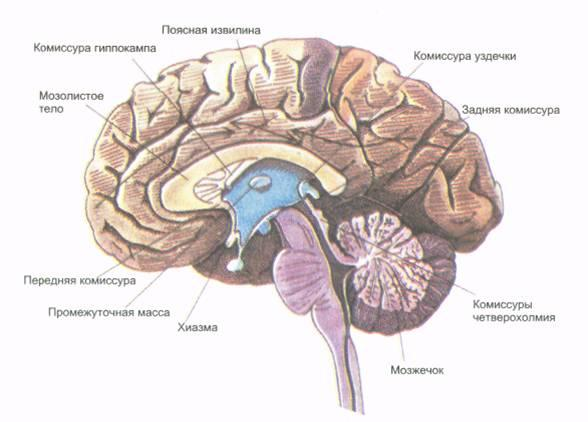 Синдромы расщепленного мозга реферат 3125