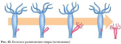 гидра размножается почкованием