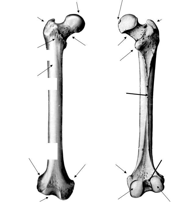 Бедренная кость картинки с подписями