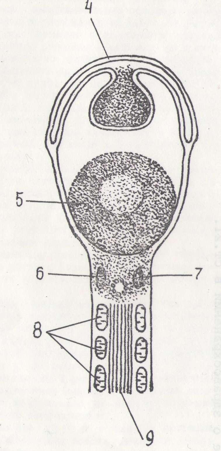 patologiya-sheyki-hvosta-spermatozoida