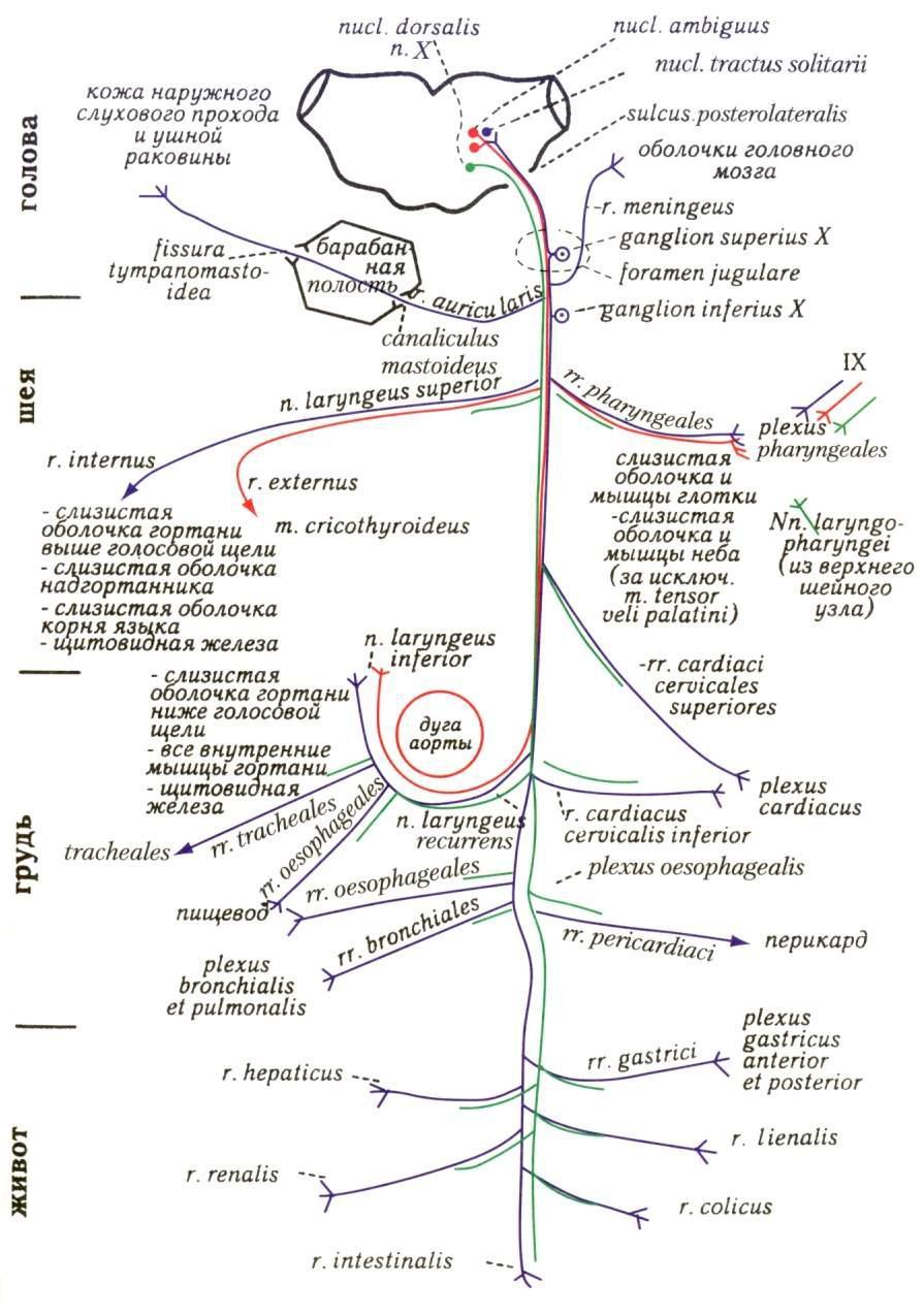 Схема черепно мозговых нервов фото 819