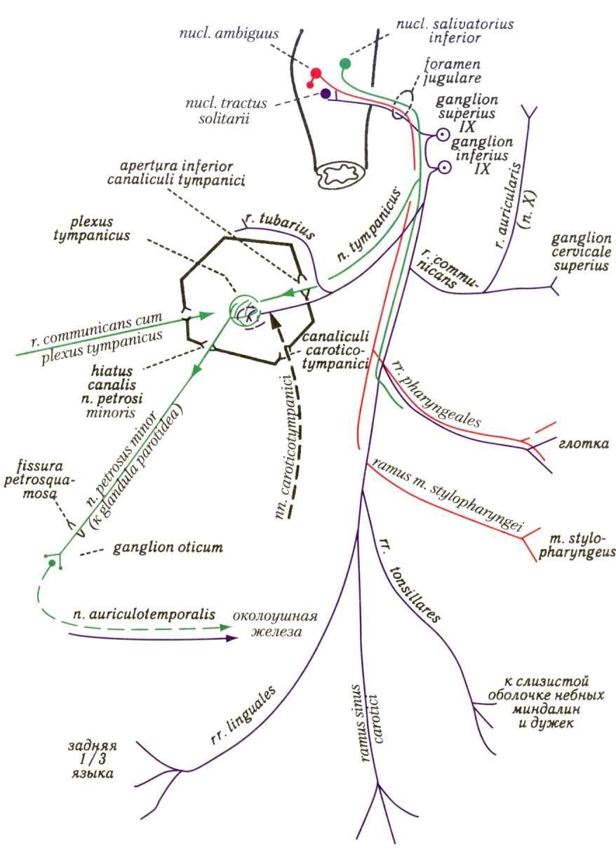 Схема черепно мозговых нервов фото 929