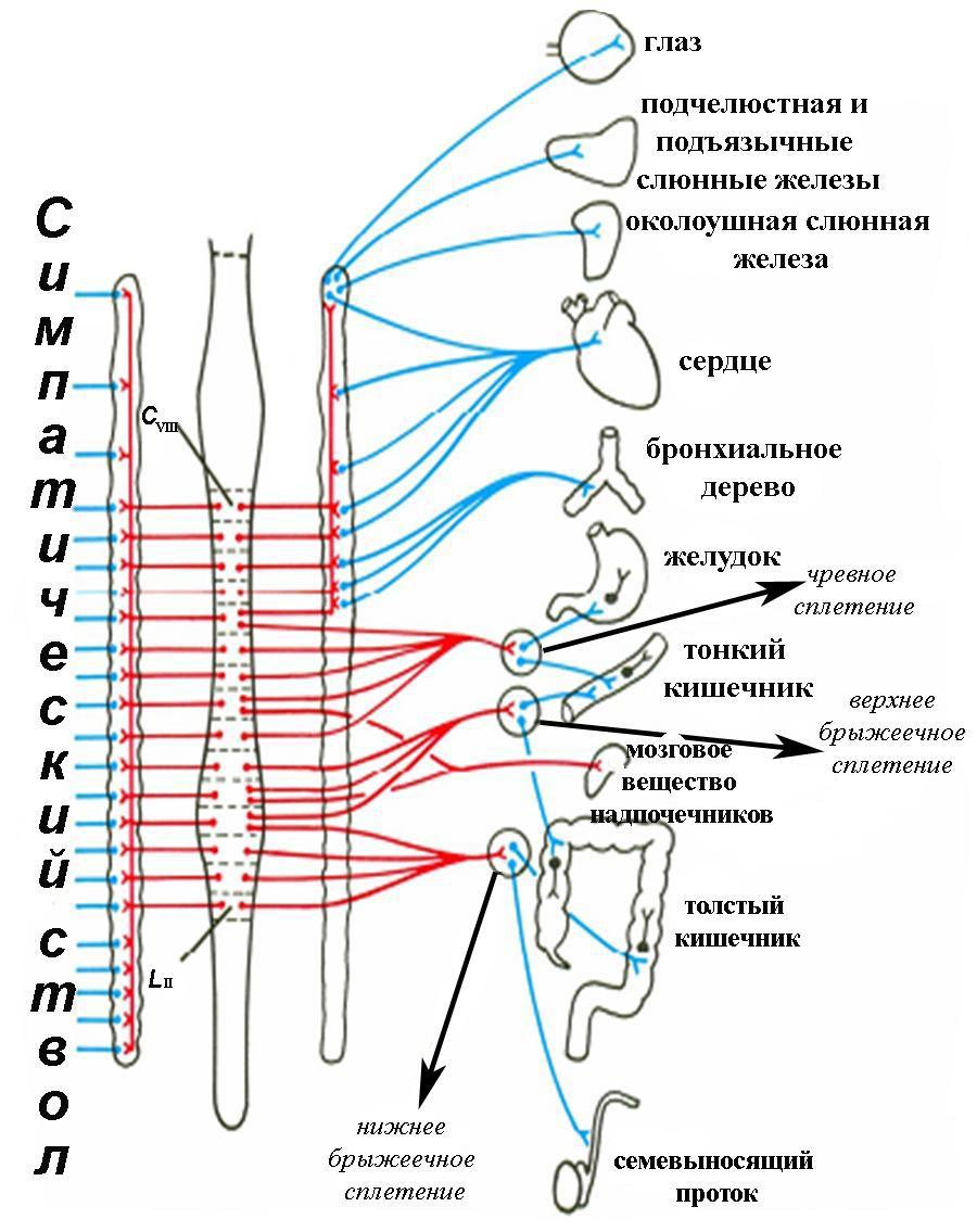 Роль симпатической и парасимпатической нервной системы