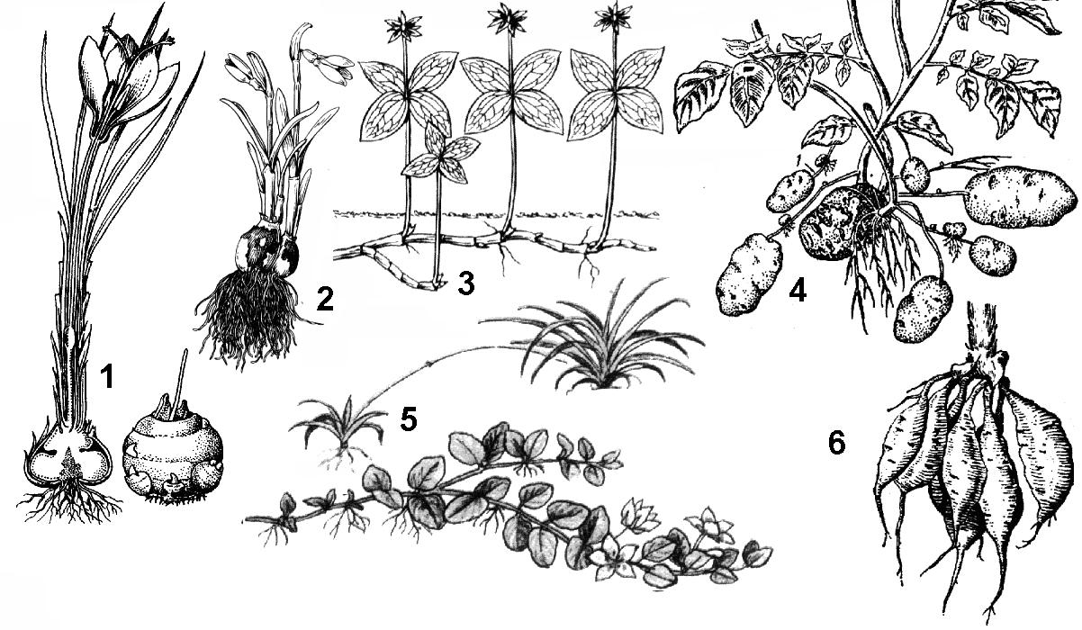 Картинка вегетативного размножения