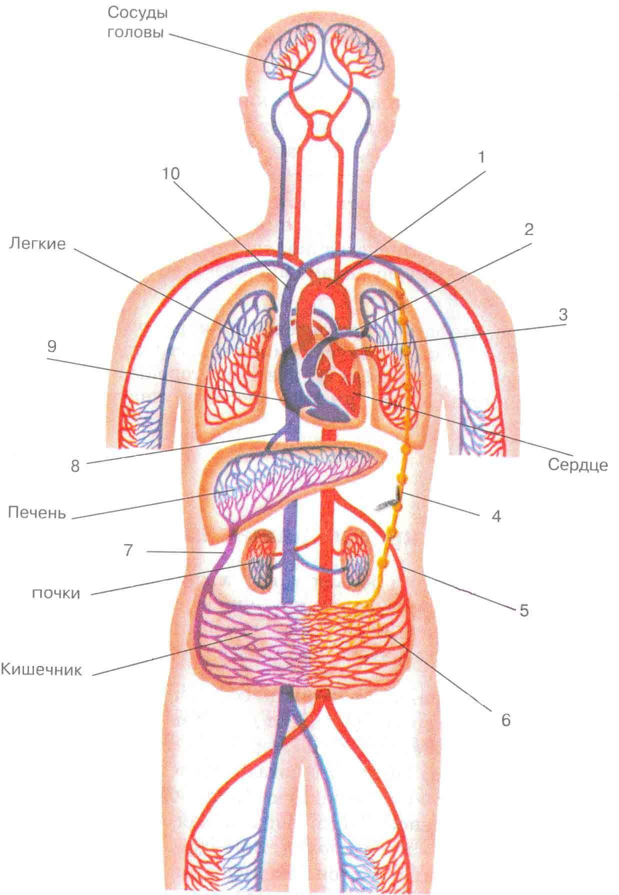 Кровообращение сердца человека схема фото 773