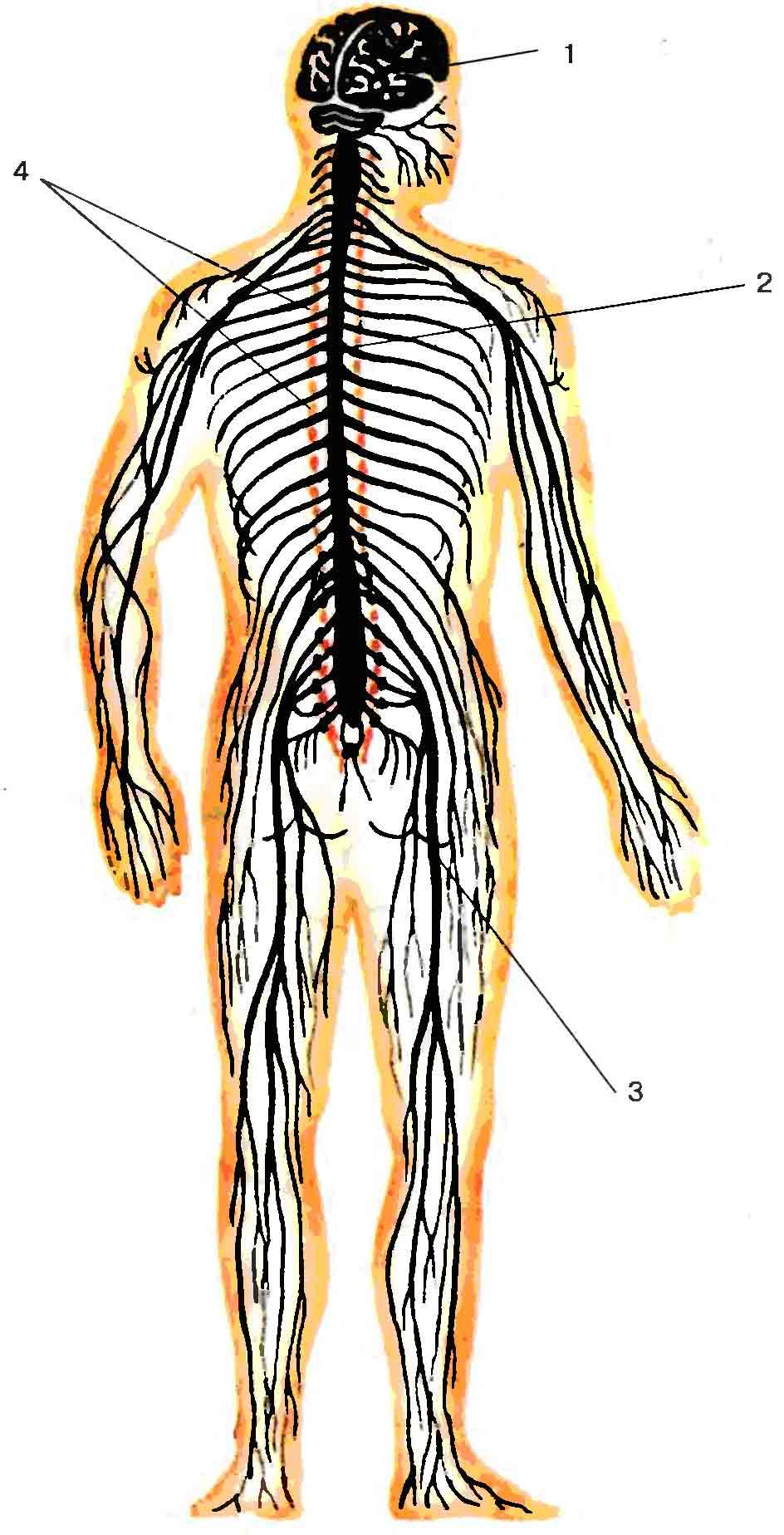 Схема нервной системы человека