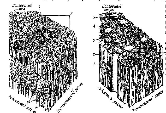 Микроскопическое строение древесины картинки