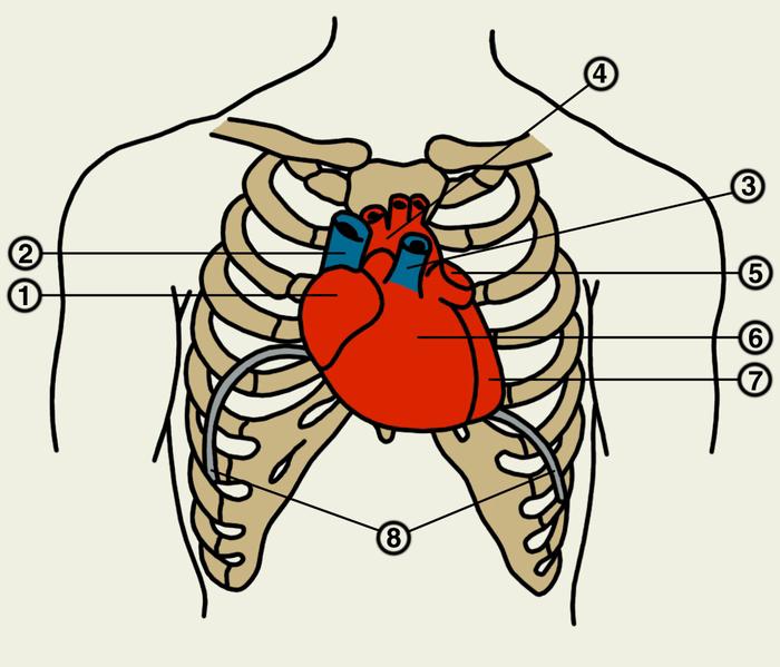 Сердце при этом как бы повернуто таким образом, что правый венозный отдел его лежит больше кпереди, левый артериальный - кзади.