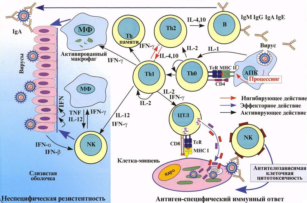 Защитная реакция иммунитета