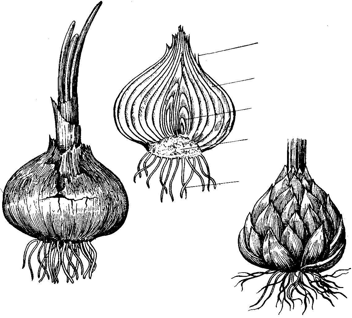 картинки луковицы лука сфере работы