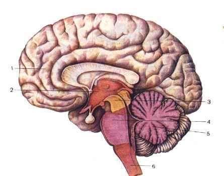 Спинной мозг — строение, функции, травма